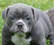 american bully dog pet lovepetdog (2)