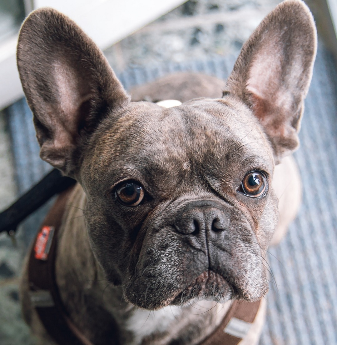 French Bulldog_dog_Lovepetdog